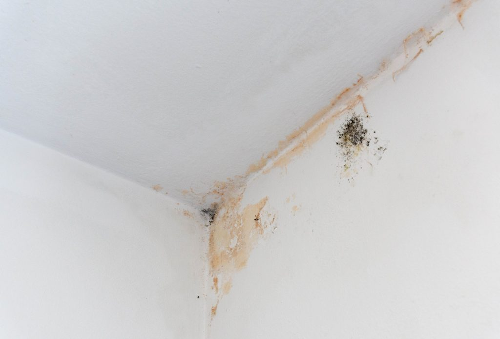 Black mold stains in corner of room. Mildew, wall, renovation.